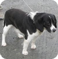 Spaniel (Unknown Type) Mix Dog for adoption in Mineral, Virginia - Jasper