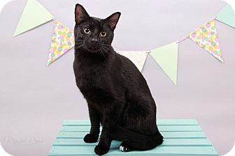 Domestic Shorthair Cat for adoption in Sterling Heights, Michigan - Mugsy-ADOPTED