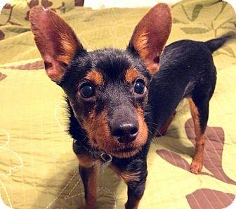 Miniature Pinscher/Jack Russell Terrier Mix Puppy for adoption in Charlotte, North Carolina - Frankie