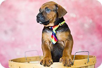 Shepherd (Unknown Type) Mix Puppy for adoption in Houston, Texas - Chad