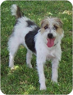 Jack Russell Terrier Dog for adoption in Phoenix, Arizona - REMINGTON STEELE