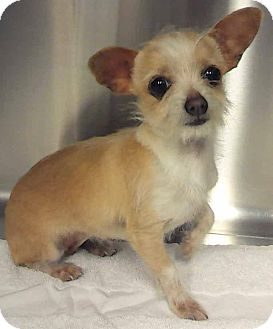 Cairn Terrier/Jack Russell Terrier Mix Puppy for adoption in Cave Creek, Arizona - Roxy