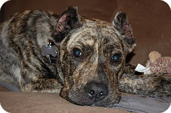 Cane Corso Dog for adoption in PARSIPPANY, New Jersey - HUDSON