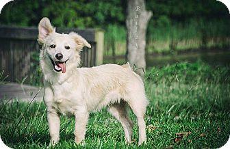 Corgi/Tibetan Terrier Mix Dog for adoption in Webster, Texas - Bailey