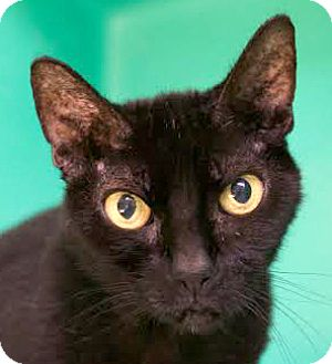 Domestic Shorthair Cat for adoption in Montclair, New Jersey - Midnight