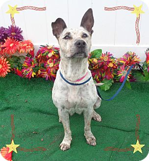 Australian Cattle Dog Mix Dog for adoption in Marietta, Georgia - TABITHA (R)