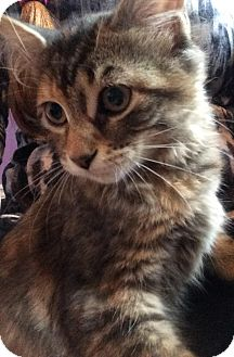 Domestic Shorthair Kitten for adoption in Lindsay, Ontario - Wendy