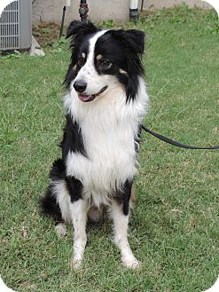 Australian Shepherd Mix Dog for adoption in Plano, Texas - BLAKE - GORGEOUS BOY