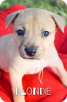 Australian Cattle Dog Mix Puppy for adoption in DFW, Texas - Blondie