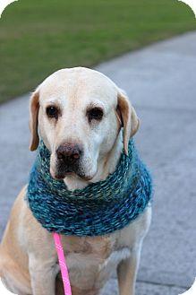 Labrador Retriever Dog for adoption in Los Angeles, California - Charlie *sight impaired