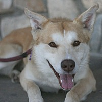Border Collie/Great Pyrenees Mix Dog for adoption in Canoga Park, California - Atlas