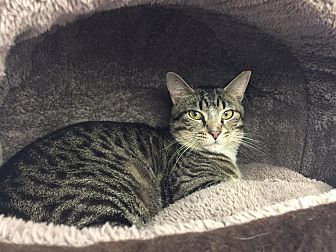 Domestic Shorthair Cat for adoption in CLEVELAND, Ohio - Henry
