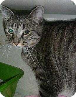 Domestic Shorthair Cat for adoption in Hamburg, New York - Miss Tatiana