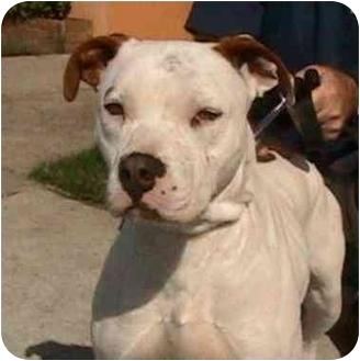 American Pit Bull Terrier Mix Dog for adoption in Berkeley, California - Mojo