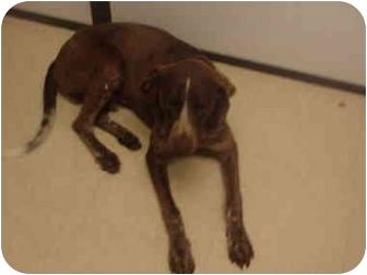 German Shorthaired Pointer/Hound (Unknown Type) Mix Dog for adoption in Manassas, Virginia - Enrique