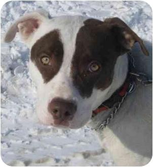 American Bulldog/American Pit Bull Terrier Mix Dog for adoption in Danville, Kentucky - Phoenix