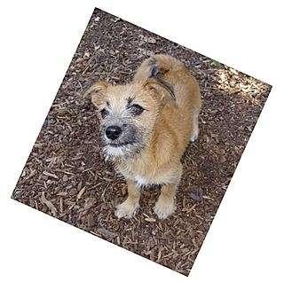 Cairn Terrier Mix Puppy for adoption in Santa Barbara, California - Buzz