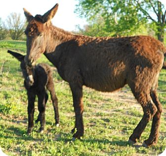 Donkey/Mule/Burro/Hinny Mix for adoption in Eustace, Texas - Solstice