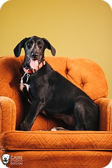 Italian Spinone/Labrador Retriever Mix Dog for adoption in Portland, Oregon - Beatrice