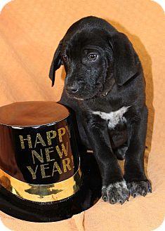 Doberman Pinscher/Labrador Retriever Mix Puppy for adoption in Westminster, Colorado - Dojo