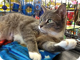 Domestic Shorthair Cat for adoption in East Hanover, New Jersey - Nikki