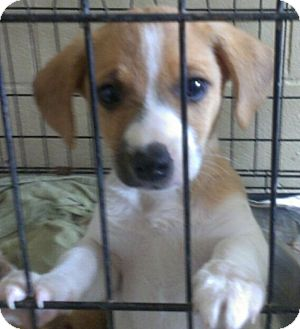 Papillon/Chihuahua Mix Puppy for adoption in Elgin, Illinois - PAPPIE