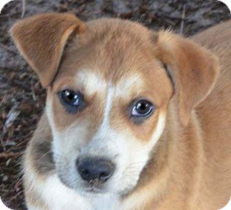 Husky Mix Puppy for adoption in Allentown, Pennsylvania - Sport