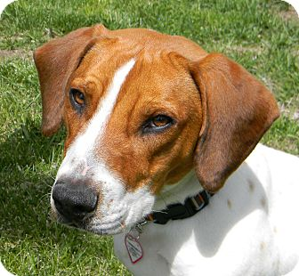 Basset Hound/Beagle Mix Dog for adoption in Mountain Center, California - Whiskey