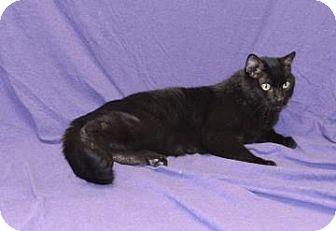 Domestic Shorthair Cat for adoption in Larned, Kansas - Christopher