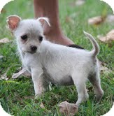 Miniature Pinscher/Chihuahua Mix Puppy for adoption in Allentown, Pennsylvania - Possom