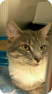 Domestic Shorthair Cat for adoption in Edwards AFB, California - Earl