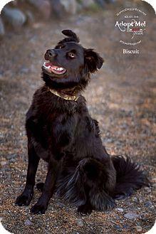 Spitz (Unknown Type, Medium)/Border Collie Mix Dog for adoption in Phoenix, Arizona - Biscuit