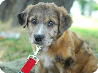 Dutch Shepherd/Shepherd (Unknown Type) Mix Puppy for adoption in Detroit, Michigan - Lincoln-Adopted!
