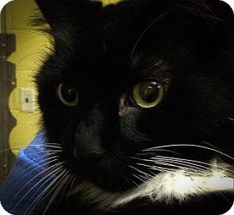 Domestic Longhair Cat for adoption in Lowell, Massachusetts - Nora