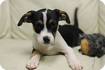 Boxer/Hound (Unknown Type) Mix Puppy for adoption in Covington, Louisiana - Moscato