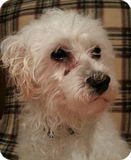 Maltese/Miniature Poodle Mix Dog for adoption in Plainfield, Illinois - Larson