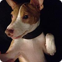 Adopt A Pet :: Enchanting Eragon - Brooklyn, NY