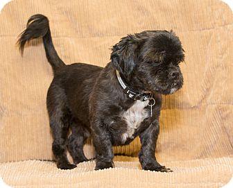 Lhasa Apso Mix Dog for adoption in Elmwood Park, New Jersey - Ewok