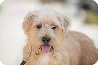 Wheaten Terrier/English Sheepdog Mix Dog for adoption in Santa Monica, California - GEORGE
