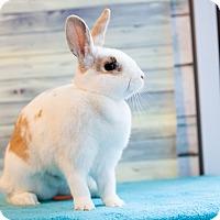Adopt A Pet :: Confettie - Los Angeles, CA
