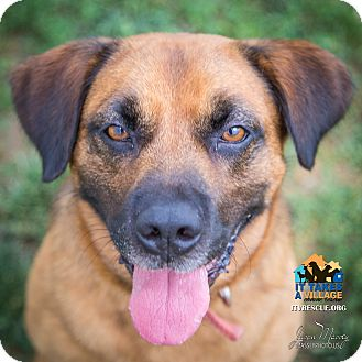 Shepherd (Unknown Type) Mix Dog for adoption in Evansville, Indiana - Sam