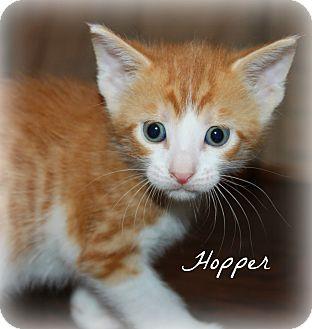 Domestic Shorthair Kitten for adoption in McKinney, Texas - Hopper