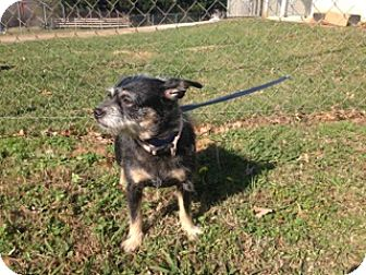 Chihuahua/Terrier (Unknown Type, Small) Mix Dog for adoption in Thomaston, Georgia - Tiny