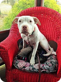 Pit Bull Terrier Mix Puppy for adoption in Buffalo, New York - Peyton