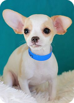 Chihuahua Mix Puppy for adoption in Waldorf, Maryland - Glen