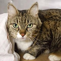Domestic Shorthair Cat for adoption in New York, New York - Bailey