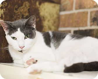Domestic Shorthair Cat for adoption in Houston, Texas - Duchess