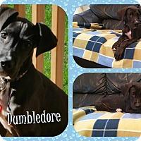 Adopt A Pet :: Dumbledore - DOVER, OH