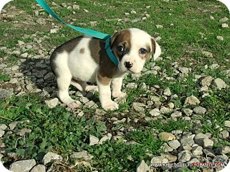 Bulldog/Beagle Mix Puppy for adoption in Waterbury, Connecticut - MIDGE/ADOPTED