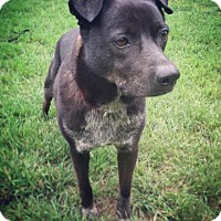 Adopt A Pet :: Shadow - San Antonio, TX